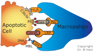 """Figure 1: Phagocytes such as macrophages recognize """"eat me"""" signals displayed by apoptotic cells. These signals include complement fragments (C3b/bi), phosphatidylserine (PS), intracellular proteins (calret) and DNA. Recognition of these signals induces the macrophage to consume (efferocytose) and destroy the apoptotic cell."""